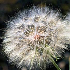 Allium Seed Head by Daniel Beard