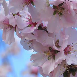 Almond Blossoms and Blue Sky - Floral Photography and Art - Flowering Trees - Spring Flowers by Brooks Garten Hauschild