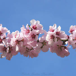 Almond Blossoms and Blue Sky - Floral Photography - Spring Images - Nature by Brooks Garten Hauschild
