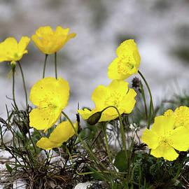 Alpine Rhaeticum Poppy by Norma Brandsberg