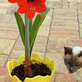 Amaryllis and Cat by Sally Weigand