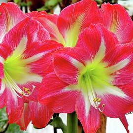 Amaryllis or Hippeastrum Minerva Flower by Lyuba Filatova