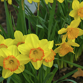 Amazing Daffodil Sweep by Robert Tubesing