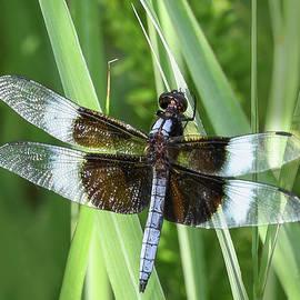 Amazing Dragonfly by Mary Lynn Giacomini