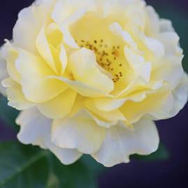 Amazing Yellow Rose by Janice Noto