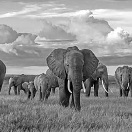 Amboseli Elephants by Eric Albright