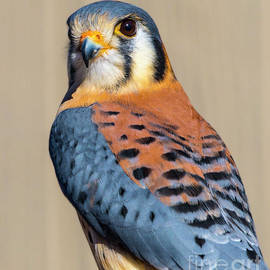 American Kestrel by May Finch