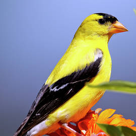 Amercian Goldfinch - State bird of New Jersey by Geraldine Scull