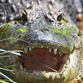 American Alligator, Smithsonian National Zoo by Steven Ralser