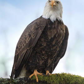 American Bald Eagle by Angie Vogel