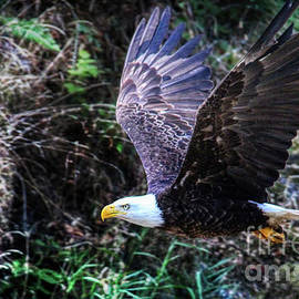 American Bald Eagle Intent by Michele Hancock