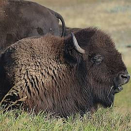 American Bison In Montana by Toni Abdnour