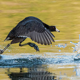American Coot 9376-020620-2 by Tam Ryan
