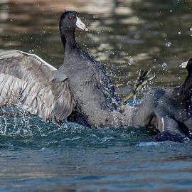 American Coot Fight 9196-020520-2 by Tam Ryan