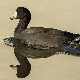 American Coot Reflected by Bruce Frye