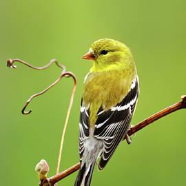 American Goldfinch Bird Portrait by Christina Rollo
