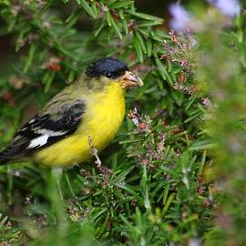 American Goldfinch  by LaDonna McCray