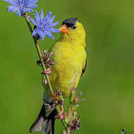 American Goldfinch On Chicory by Morris Finkelstein