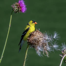 American Goldfinch on Thistle by Marcy Wielfaert