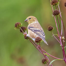 American Goldfinch Portrait by Morey Gers