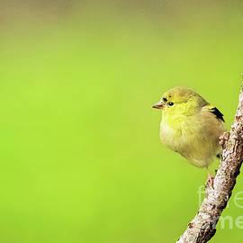 American Goldfinch by Scott Pellegrin