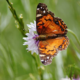 American Lady Butterfly on Bachelor Button Flower by Gaby Ethington