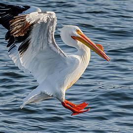 American Pelican Landing #1 by Morris Finkelstein