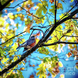 American Robin In Autumn 2 by Michele Hancock