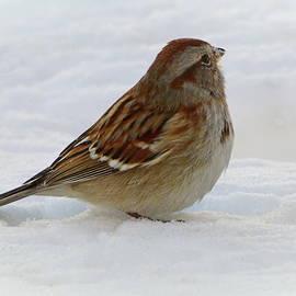 American Tree Sparrow in Winter by Lyuba Filatova