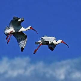 American White Ibis by Stuart Harrison