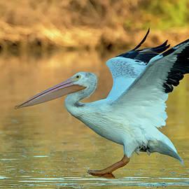 American White Pelican 3320-111920-2 by Tam Ryan