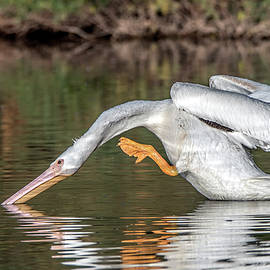 American White Pelican 5428-120120-2 by Tam Ryan