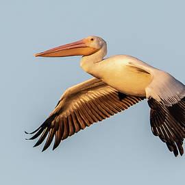 American White Pelican 7095-120420-2 by Tam Ryan
