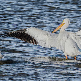 American White Pelican And A Companion by Morris Finkelstein