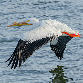 American White Pelican Flying #3 by Morris Finkelstein