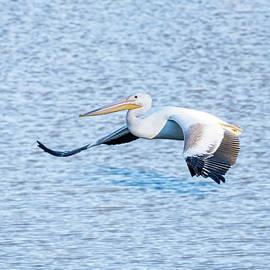 American White Pelican Gliding Along  by Debra Martz