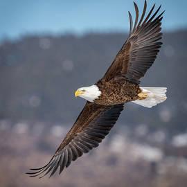 America's Icon -- the Bald Eagle by Judi Dressler