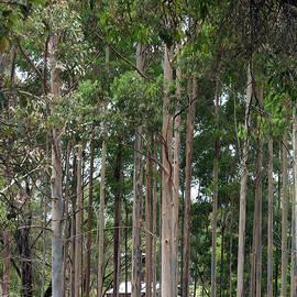 Amongst the Karri Trees by Elaine Teague