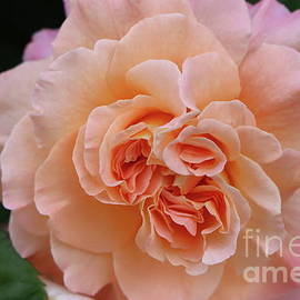 An Entranceway Rose by Christiane Schulze Art And Photography