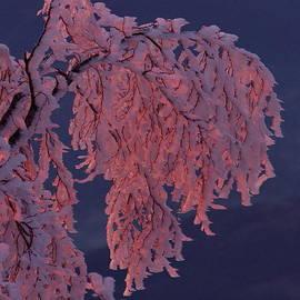 An iced winter tree