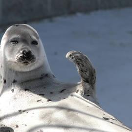 An Observing Seal by Lieve Snellings