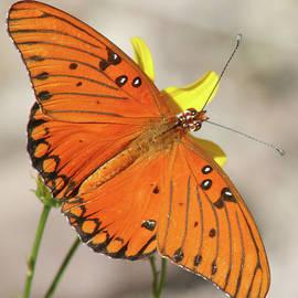 An Orange Gulf Fritillary Butterfly, AZ, NM, HI, USA by Derrick Neill