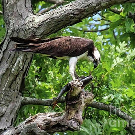 An Osprey's Lunch by S Jamieson