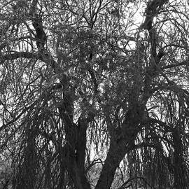 Ancient Ironwood Monochrome by Douglas Taylor