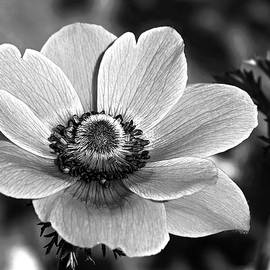 Anemone in Black and White by Angie C