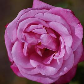 Angel Face Pink Rose by Joy Watson