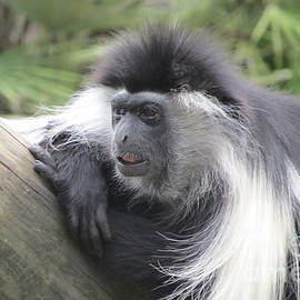 Angolan Colobus Monkey by World Reflections By Sharon