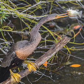Anhinga Spearing A Fish by Morris Finkelstein