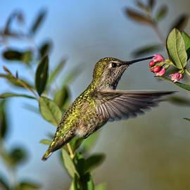 Annas Hummingbird by Dana Hardy