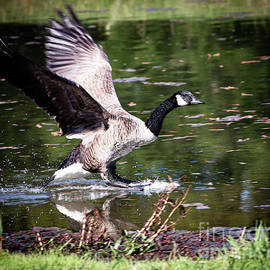 Another Goose On Aragon Mill Pond by Gary Shindelbower